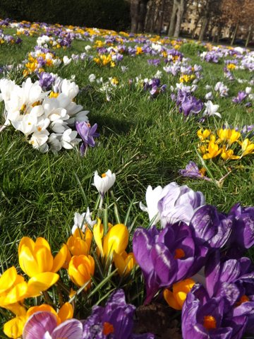 Spring crocuses in Edinburgh, Bruntsfield Links